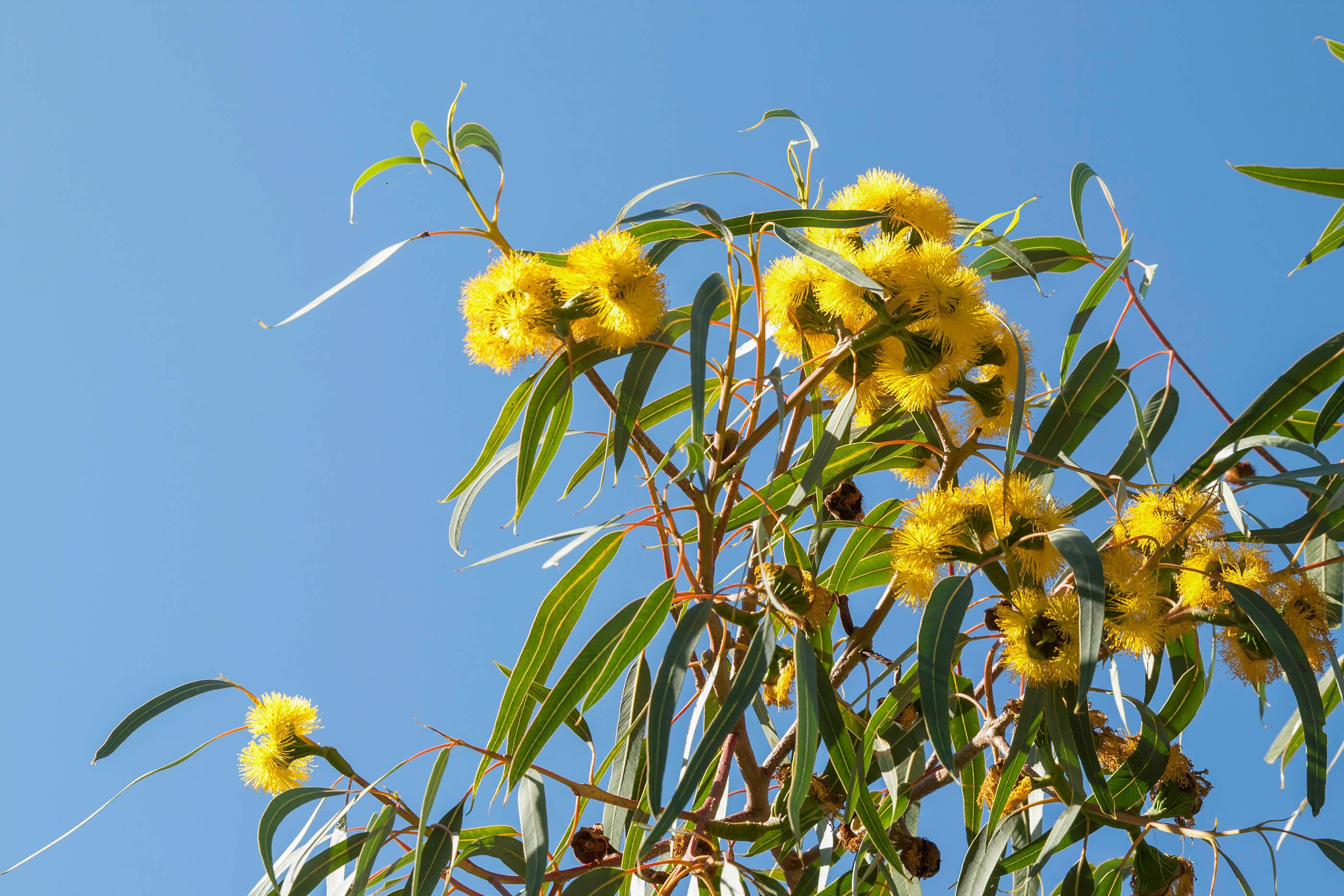 ccwa-illyarie-tree