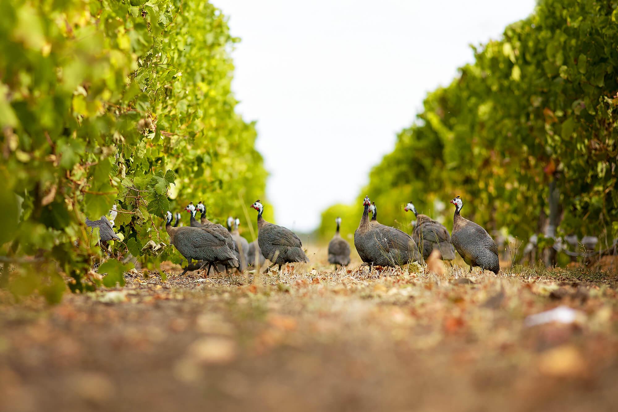 Frankland-Estate-Guinea-Fowl