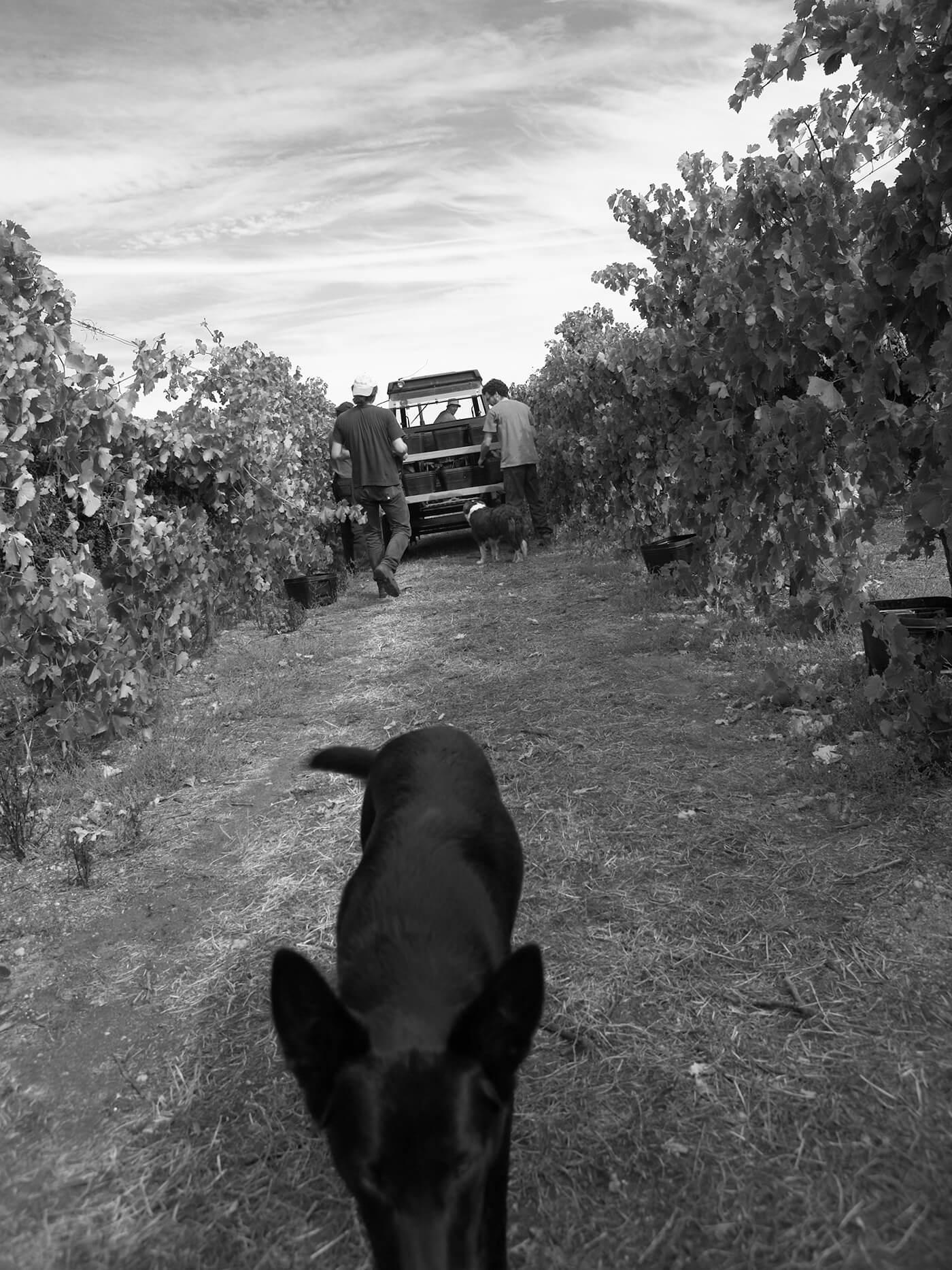 Frankland-estate-winery-dog